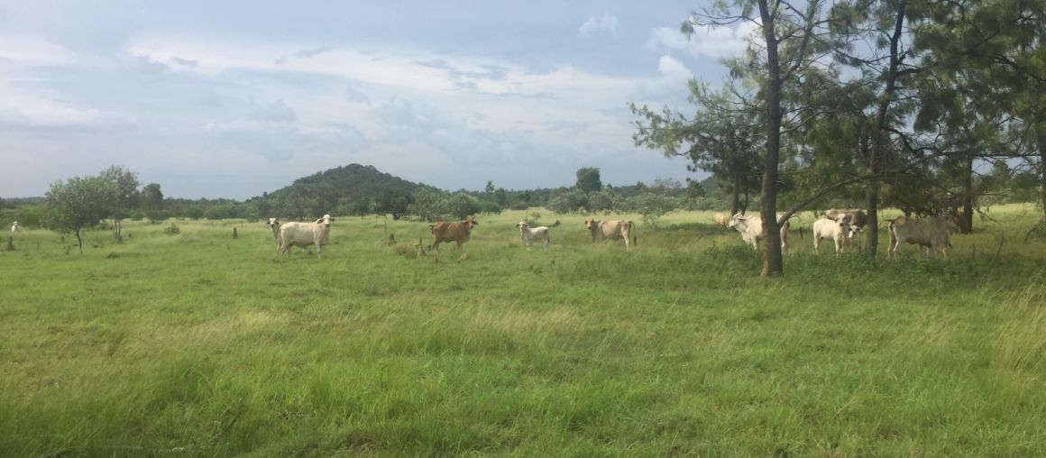 10 Brahman Mixed Age Cows Great Value
