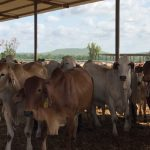 NT restockers seeking northern WA feeder steers